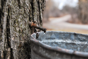 Vermont sugar maple tap